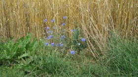 Cornflowers on the edge of a wheat field.