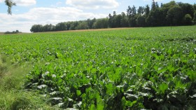 Field of turnips.