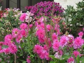 dahlias, fuchsias and petunias