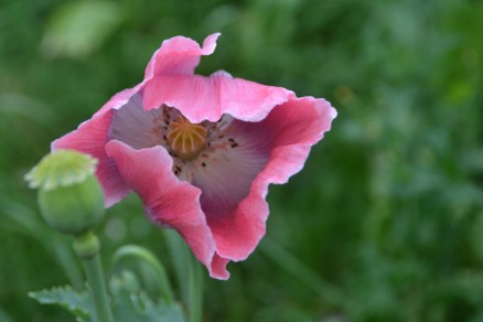 Mohnblüte Germerode | poppy 2