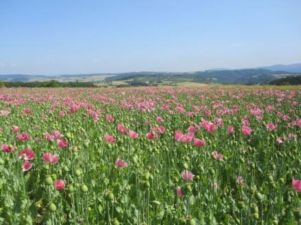 Mohnblüte Germerode | poppy 3