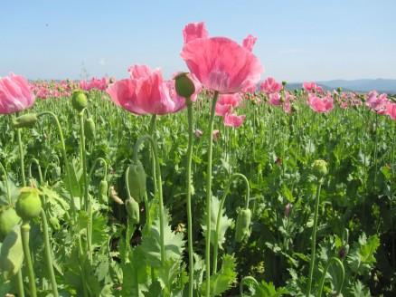 Mohnblüte Germerode | poppy 8