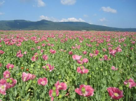 Mohnblüte Germerode | poppy 9
