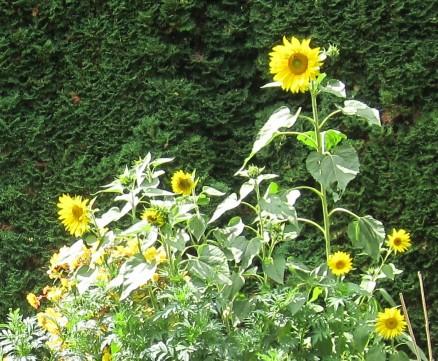 Sonnenblume | sunflower a